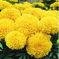 万寿菊花种
